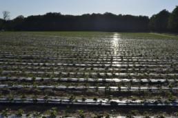 Plantacja truskawek na zagonach