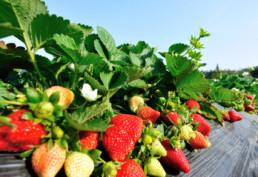 Truskawki-na-groblach-uprawa-owocow-jagodowych-calfert