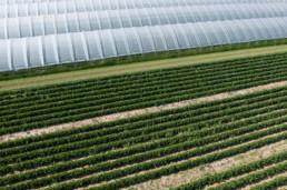 Nawozy-Dolistne-zdjecia-uprawy-owocow-truskawki-calfert