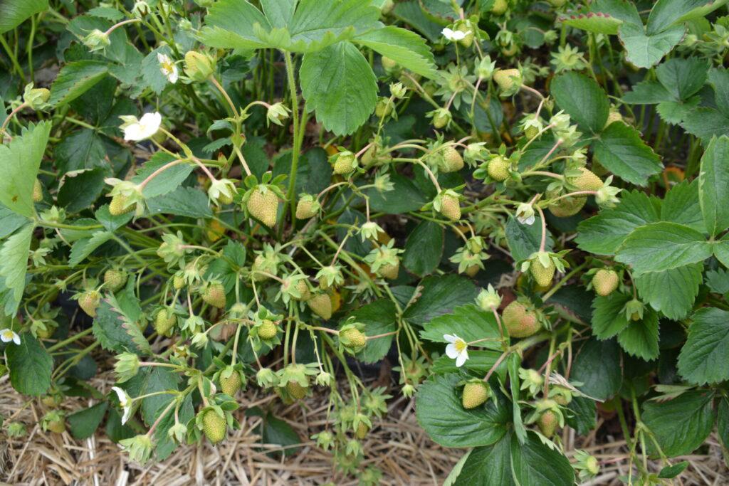 Jak żywić truskawki które mają bardzo dużą ilość owoców, aby były duże i jędrne?