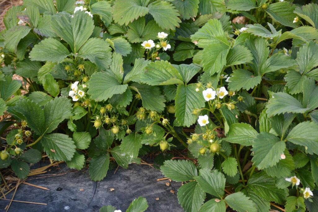 Jak stosować fertygację w uprawie truskawek w czasie kwitnienia i owocowania?