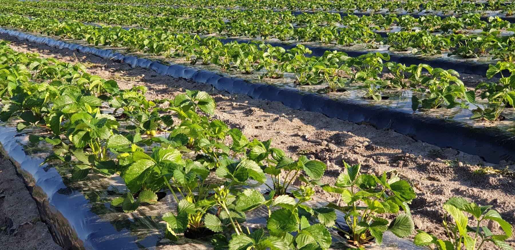 Plantacja truskawek zakładana z sadzonek typu frigo na przełomie lipca i sierpnia.